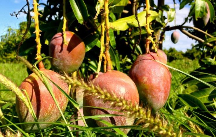 Die Geschichte von den zwei Mangobäumen