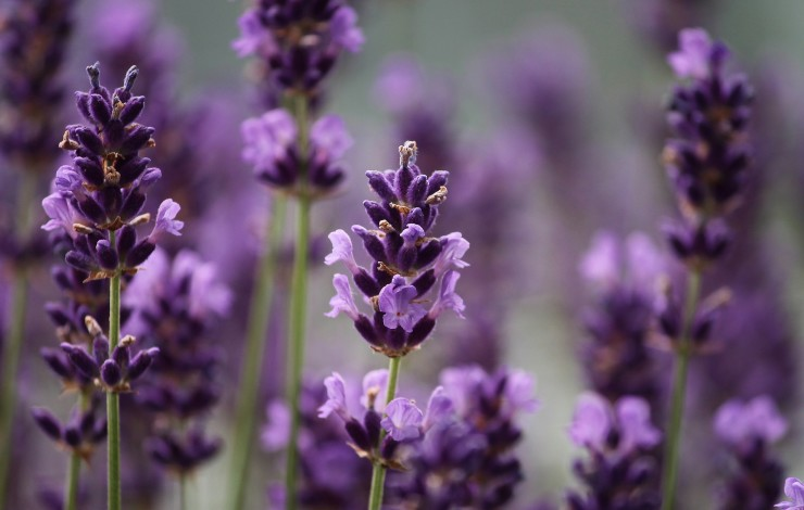 Beruhigender Lavendel