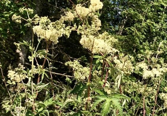 Mädesüß (Filipendula ulmaria)