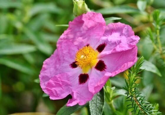 Zistrose - die antivirale Heilpflanze